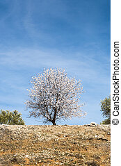 Almond tree in blossom - An almond tree in blossom in an...
