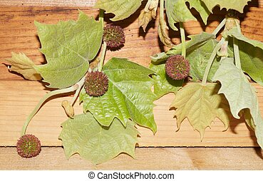 Sycamore leaves and fruits on wooden background