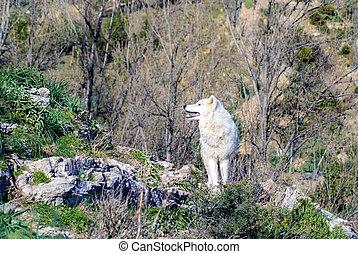 white wolf in Almunecar, Escrita Mountain, Granada, Spain.