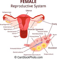 female reproductive system, the uterus and ovaries scheme,...