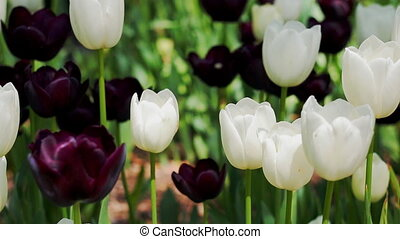 Tulips flowers and nature landscape. - Tulips flowers....