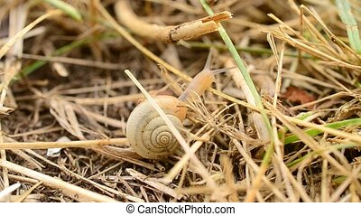 Snail with shell crawls on dry grass or straw