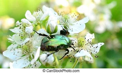 Flower chafer beetle forages on beautiful blackberry flowers...