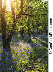 Beautiful landscape of bluebell for - Stunning landscape of...
