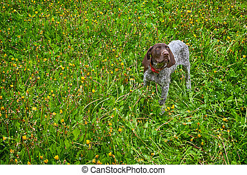 german shorthaired pointer - puppy running in the dandelions...