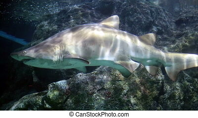 Shark over a coral reef ,