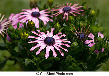 Osteospermum - White Osteospermum with purple edges and a...