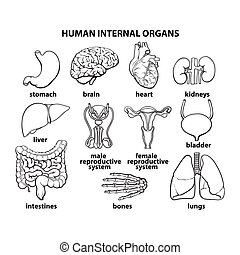The internal organs of man, set - set of human organs,...