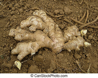 Ginger Root - A piece of fresh ginger root.