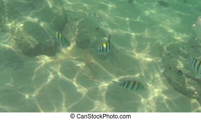 Tropical fish eat banana slices - Tourists feeding tropical...