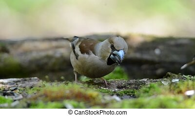Grosbeak, the female searches for food in spring forest -...