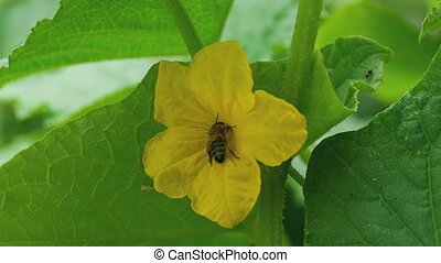 Bee and flower of cucumber - Pollination of cucumber flowers...
