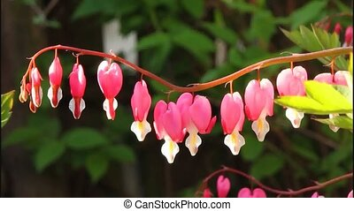 Dicentra - always attracts its original form