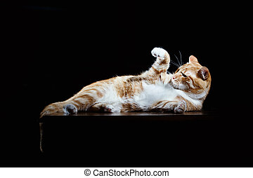 Long-Haired Orange Cat Lying Down on Isolated black...