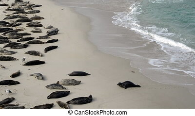 Seal Emerges From Water and Crawls Across Beach to sleep in...