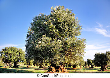 ancient secular olive tree in the countryside of Apulia,...