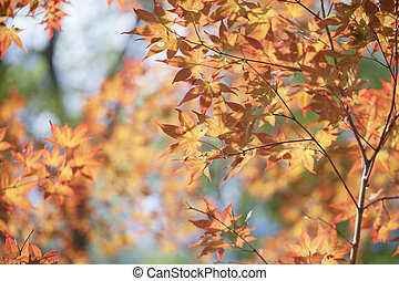 maples leafs