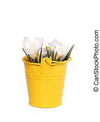 Crocuses in a small bucket. Spring flowers