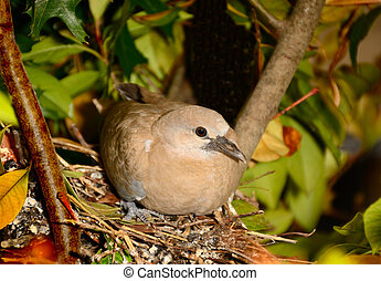Solo Dove - Female dove is roosting on the nest solo until...