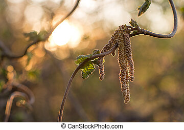 Catkins Bloom on a Decorative Hazel Bush at Sunset - Catkins...