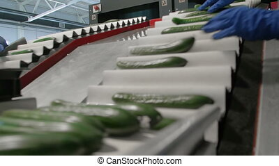 Worker Revise Cucumbers In Conveyor Line. Food Production