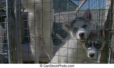 Cute Puppies of Siberian Husky Awaits Owner at Pedigree...