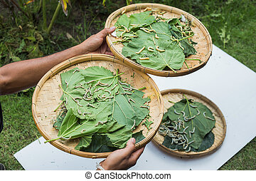 Silkworms eating mulberry leaf in basket on wood