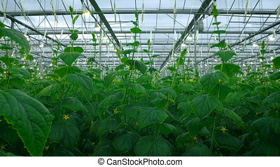 Green Crop Growing In Very Large Modern Greenhouse - Green...