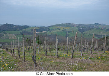 pinot noir vineyard located Oltrepo Pavese,italy