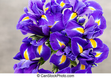 Iris flower on the gray background - Purple iris flower...
