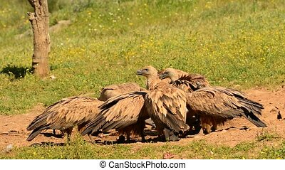 Vultures griffon eating carrion in the pasture