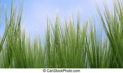 Camera sliding through wheat field, dolly slider close up...