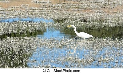 Elegant great egret hunting