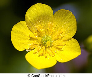 Common Buttercup Ranunculus acris - A close-up macro shot of...