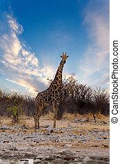 Giraffa camelopardalis near waterhole in safari Etosha...