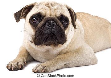 sad looking pug dog