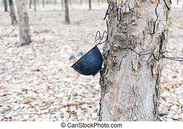 Plastic cups hanging on the rubber trees.