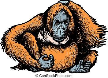 big orangutan monkey isolated on the white background