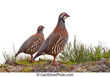 red-legged, perdiz,  Madeira,  springtime