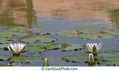 White water lilies and frogs