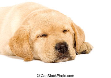 Sleeping Labrador retriever puppy against white background
