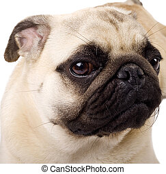 fawn colored Pug - Portrait of a fawn colored Pug dog over...