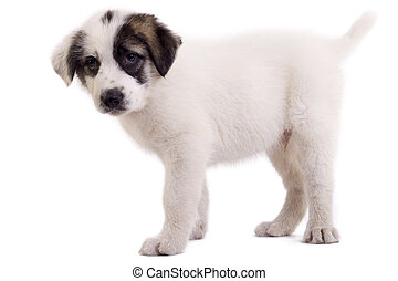 shepard puppy - bucovinean shepard puppy standing on a white...