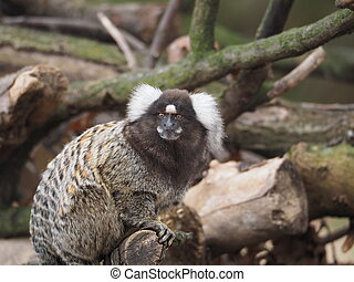 Common marmoset - common marmoset