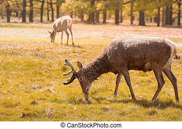 Wild deer in a park on a sunny afternoon