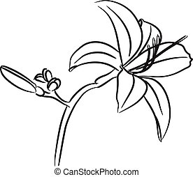 Lily flower hand drawn