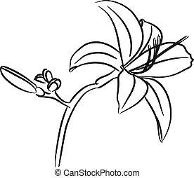 Lily flower hand drawn