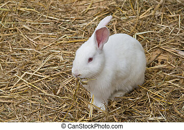 White bunny - Cute and funny single rabbit eating dry grass
