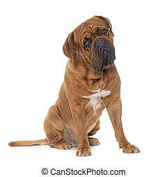 Dogue de Bordeaux - Bordeaux mastiff in front of white...