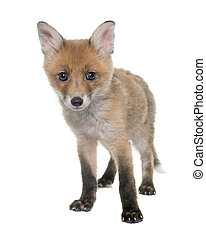 fox cub in studio - fox cub in front of white background